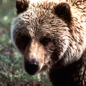 yellowstone_grizzly2
